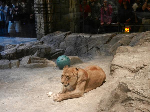 MGM Grand Lion Habitat waar je elke dag leeuwen van dichtbij kunt bewonderen