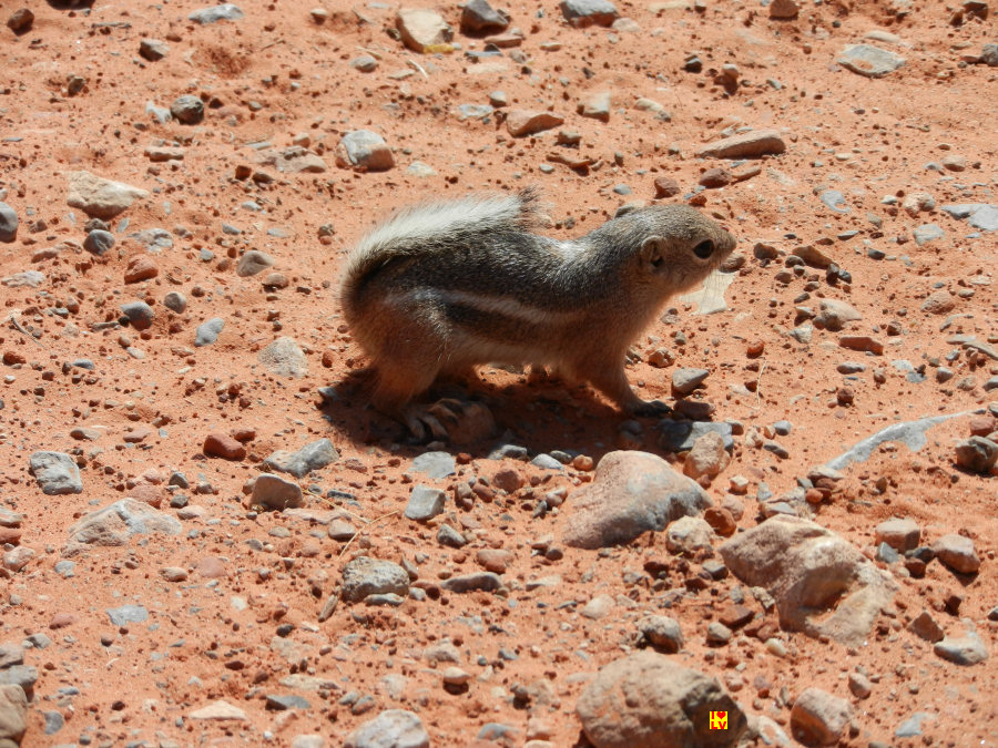 Ground squirrel / grondeekhoorn Valley of Fire State Park